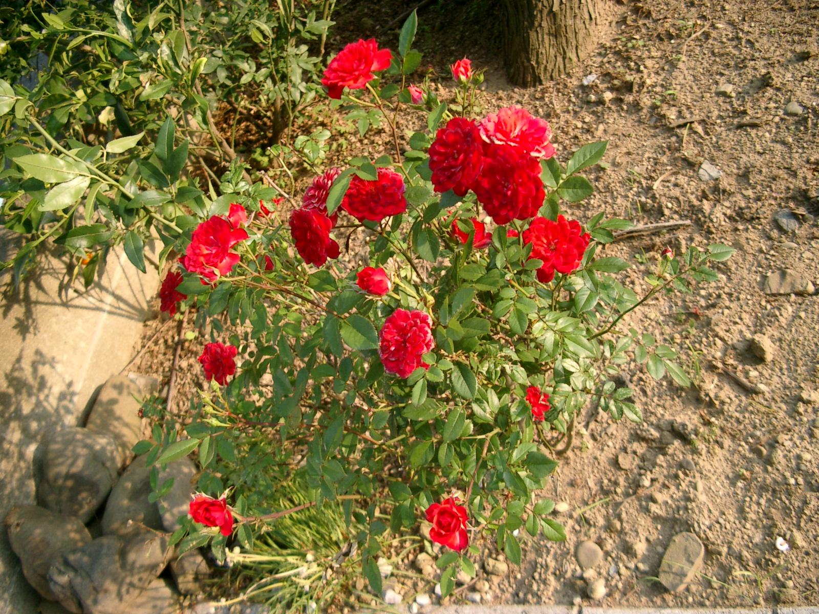 19年5月赤ミニ薔薇